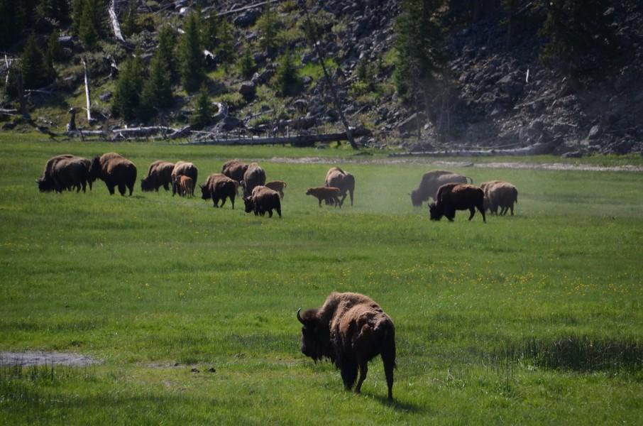 Buffaloer
