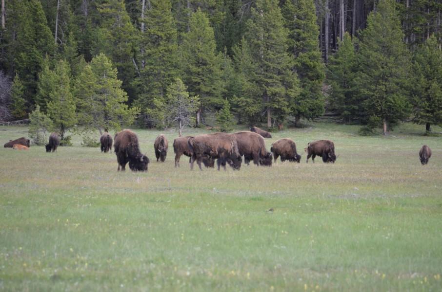 Buffalo i Yellowstone Nasjonalpark